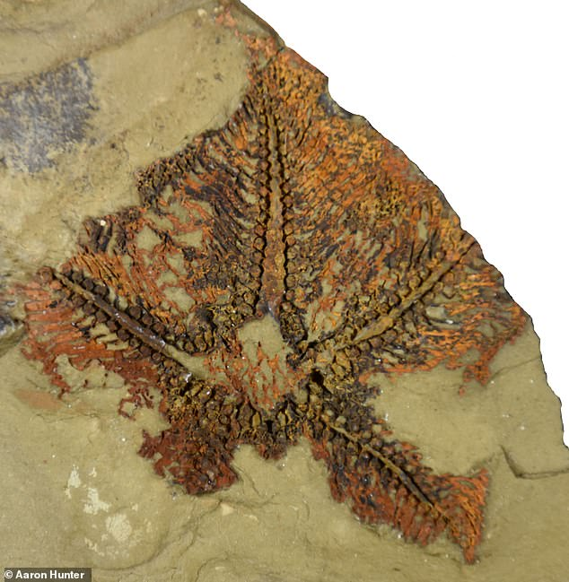 A study reported that the fossil starfish (pictured) that was discovered in Morocco dating back 480 million years is